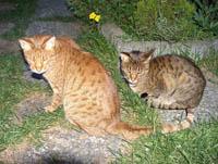 Raza de gato: Ocicat