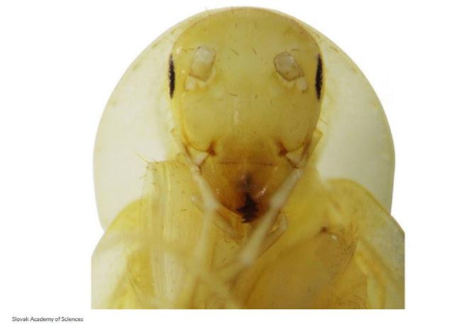 Helmablatta Louisrothi แมลงสาบสายพันธ์ใหม่ที่เวียดนาม โปร่งใส ใส่หมวก
