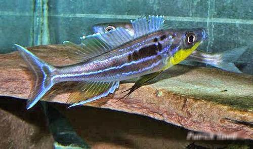 Benthochromis Tricoti