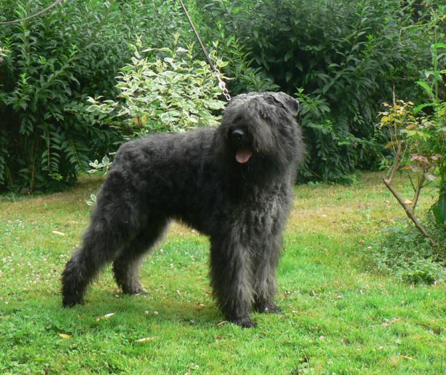 Bouvier Des Flandres Dog Breed | Facts, Highlights ...  |Bouvier Dog
