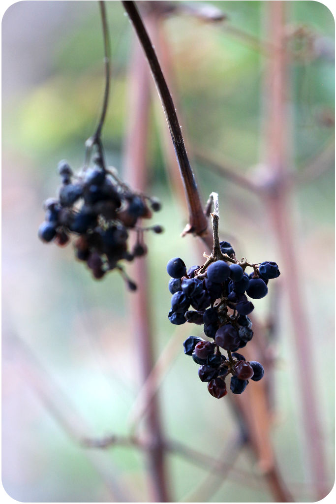 Vertrocknete Weinreben | Arthurs Tochter Kocht von Astrid Paul