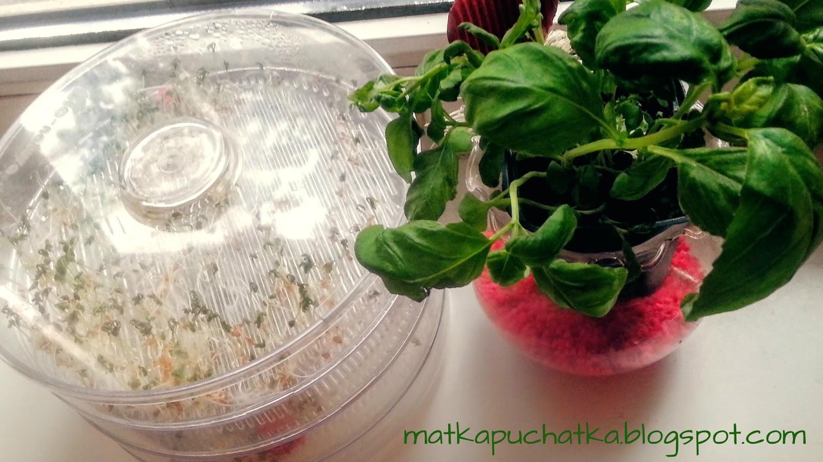 zielenina na parapecie