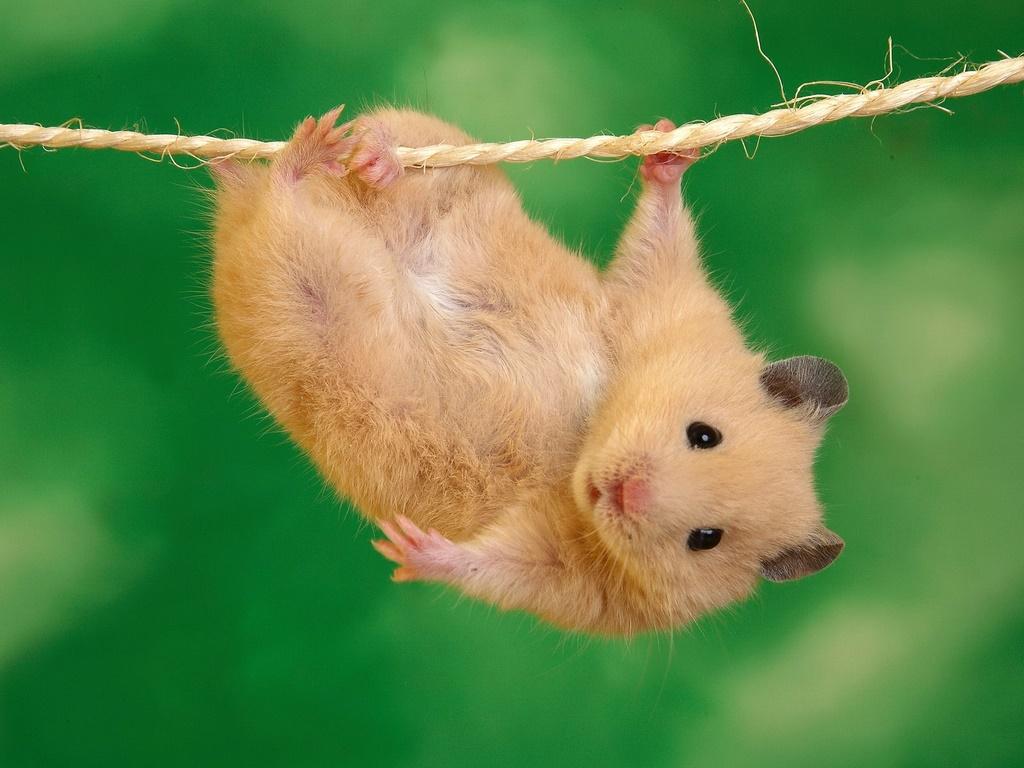 Hamster.com videos