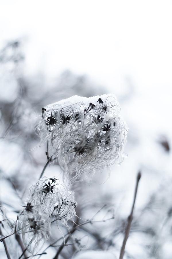 Blog + Fotografie by it's me! - Draussen - Frau Frieda sucht Schnee, verschneite Samenstände einer Clematis