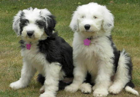 about dog old english sheepdog is your old english sheepdog potty