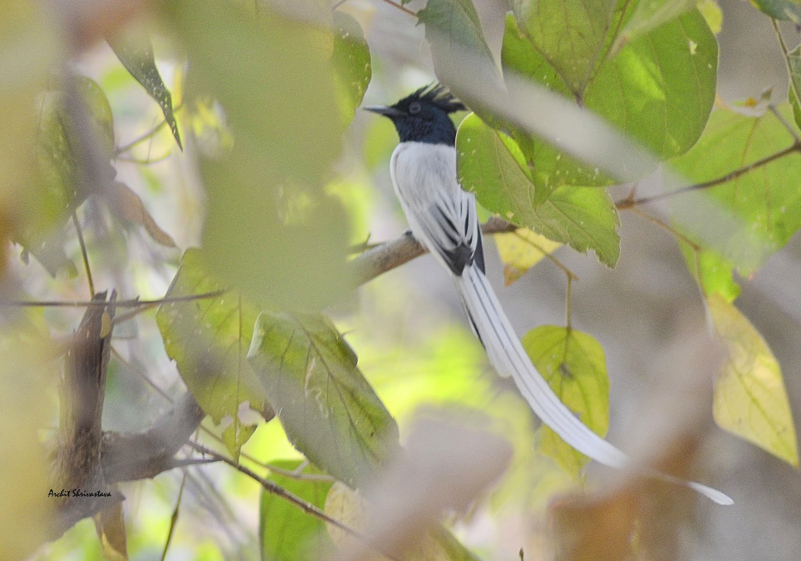 Paradise flycatcher at Ramanagara Bangalore