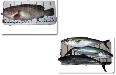南紀 和歌山クエ ブリ・メジロ 関西の船釣りで釣れる 竿とリール