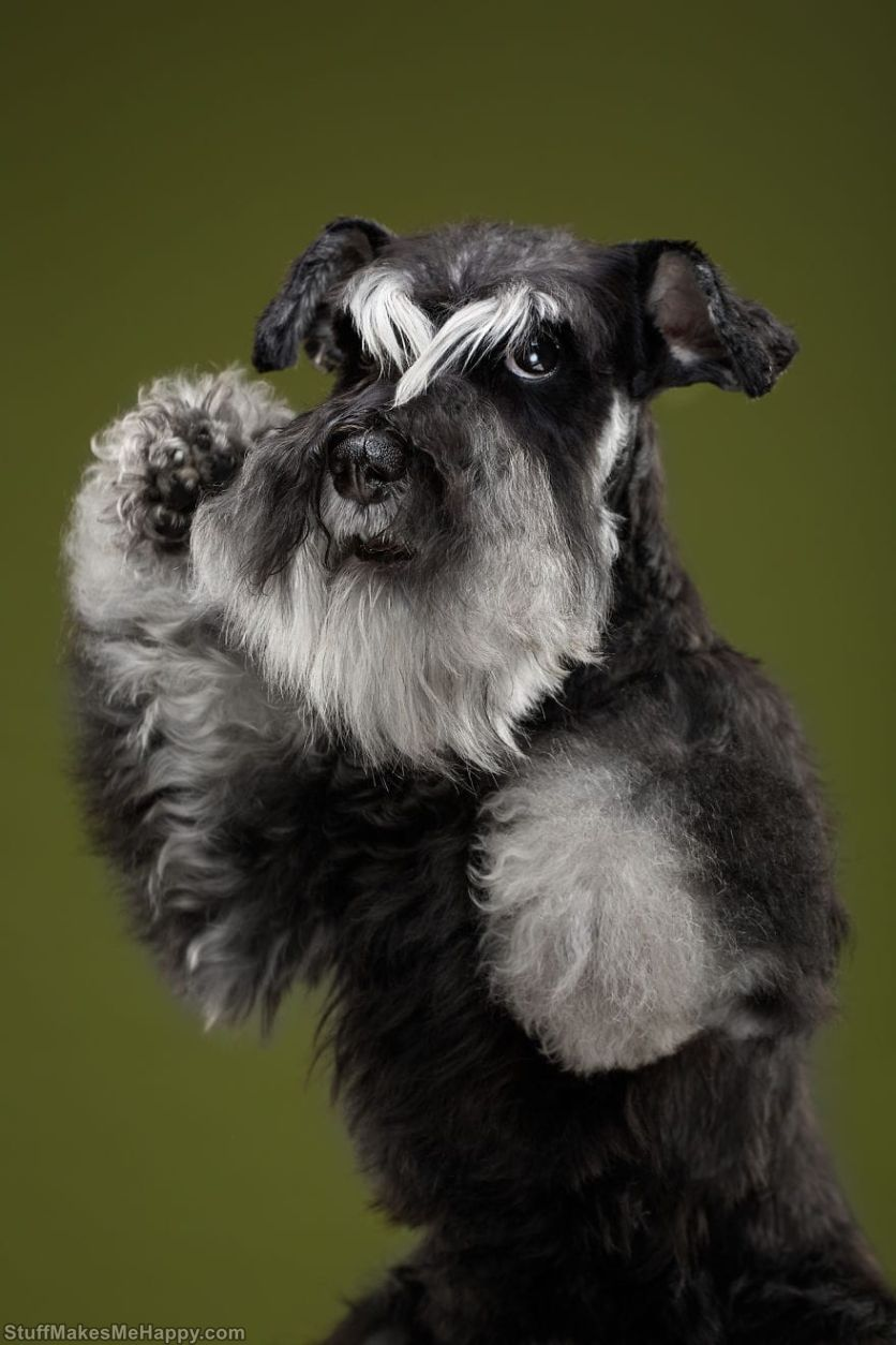7. Chika is a kung fu schnauzer!