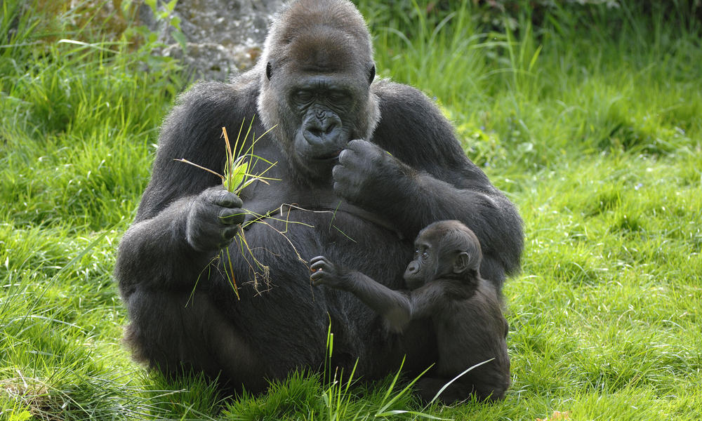 Gorillas Interesting Facts And Pictures