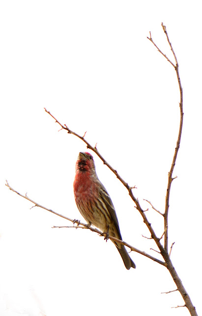Haemorhous mexicanus, house finch, amy myers, sonoran desert, small sunny garden