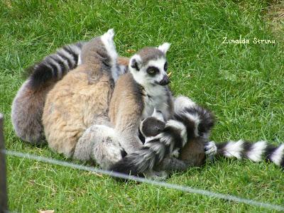 zoo-roma-lemurieni
