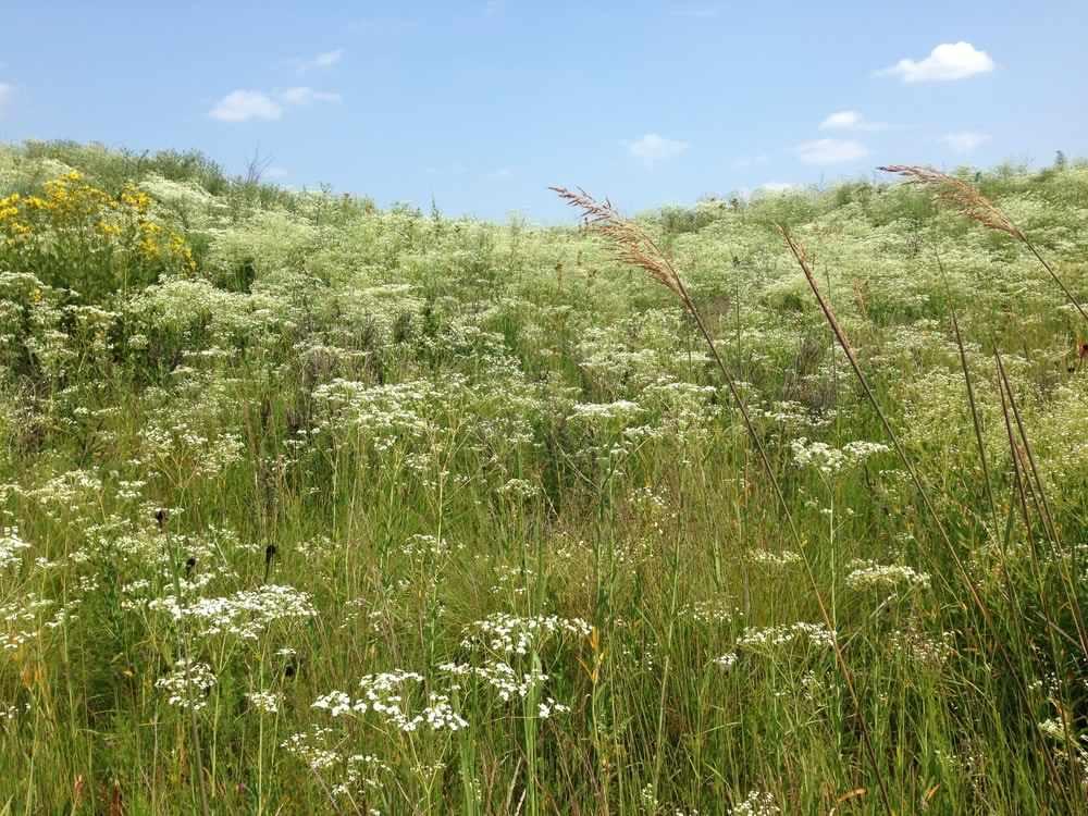 Chicago Botanic Garden's Dixon Prairie with dense masses of Euphorbia corollata