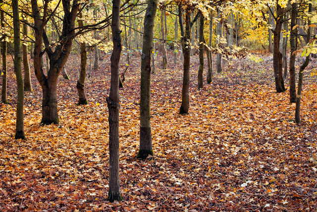 Young trees stand amongst autumn leaves at Hinchingbrooke Country Park