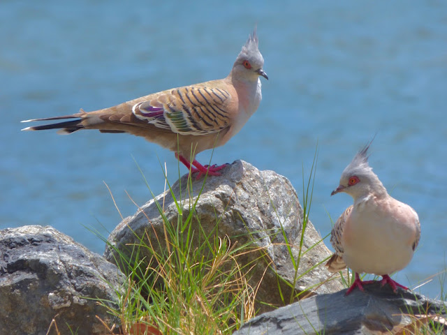 2 red-eyed pigeons with mohawk-like crests against a water background, grass and rock foreground