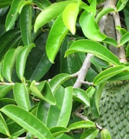 Benefits of Soursop Leaf