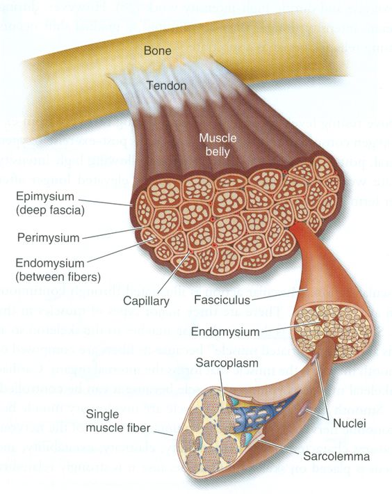 Medical and Health Science: Diagram of muscle tissue