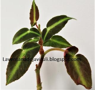 striped-begonia