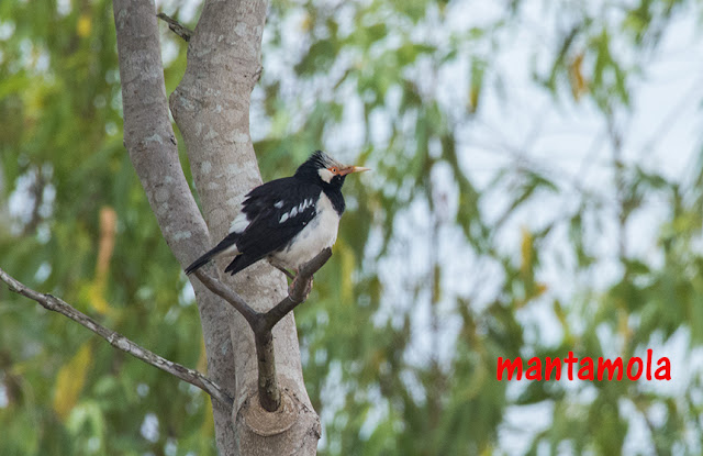 Asian Pied Starling  (Gracupica contra)