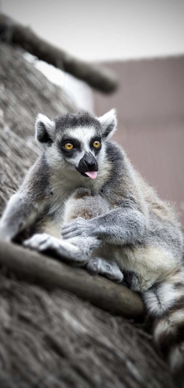 A lemur making a face.
