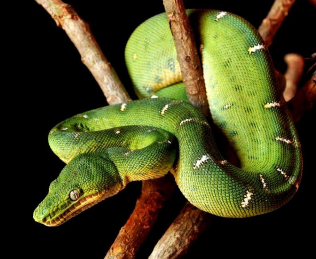 Cobra-Papagaio (Corallus caninus)