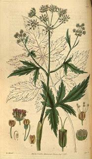 dibujo de planta de arracacha con flores