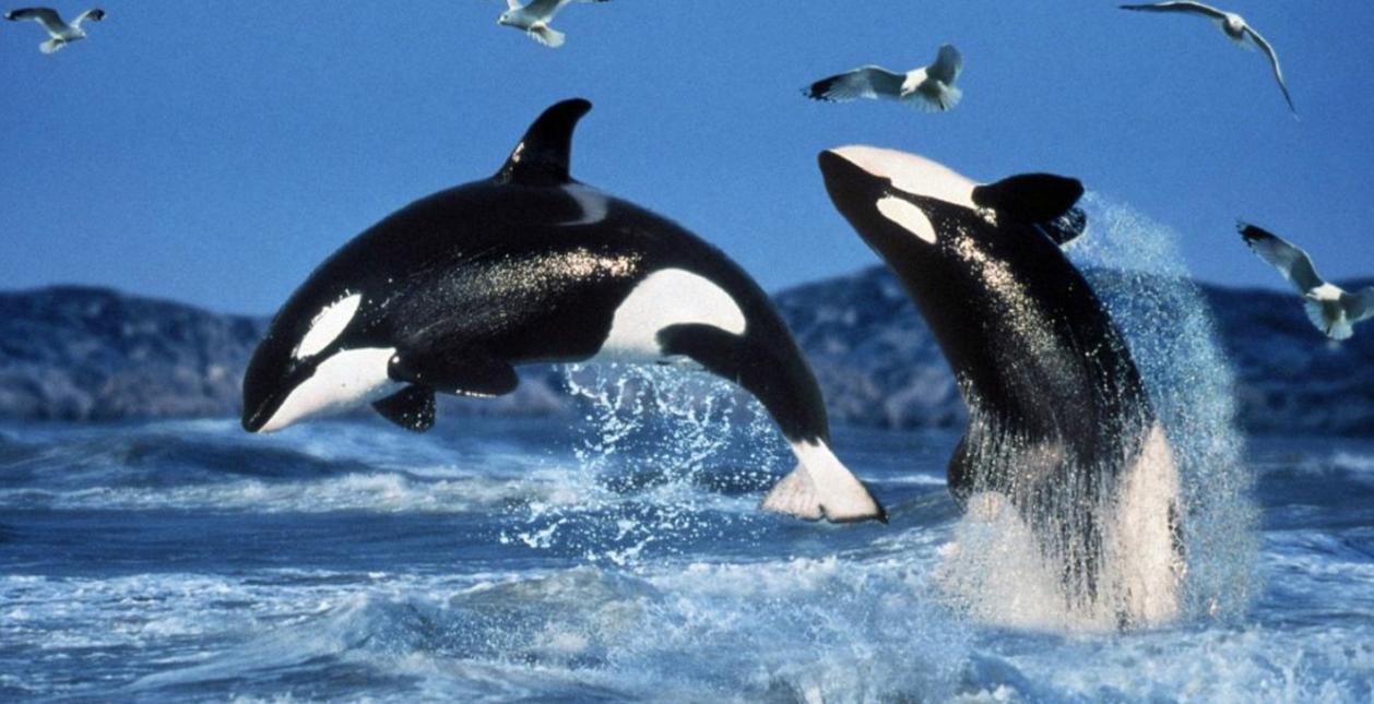 ikan-paus-lumba-lumba
