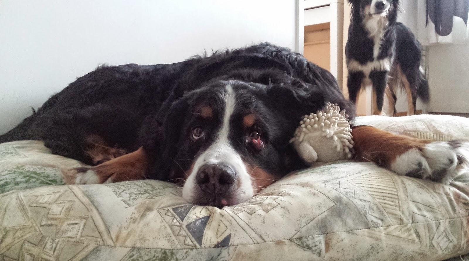 ampiaisen pisto koiran silmään