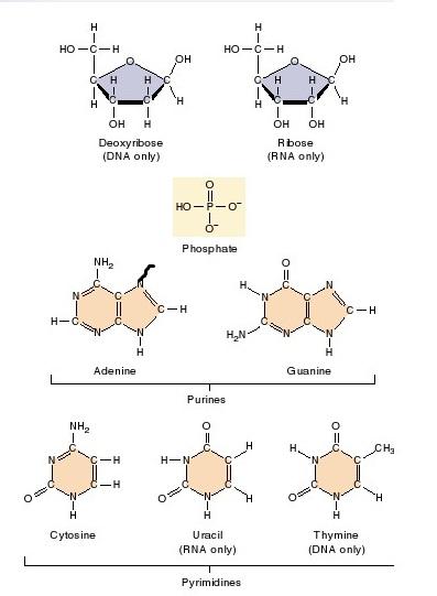 basa nitrogen purin dan pirimidin purin Adenin A Guasin G dan pirimidin Timin Sitosin deoksiribosa DNA ribosa RNA