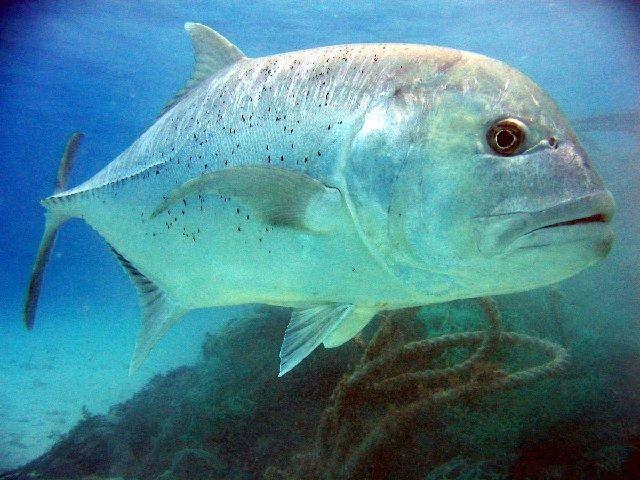 Ikan Kuwe Biru