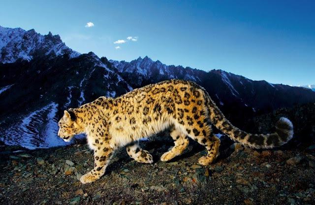 Леопард фото образец