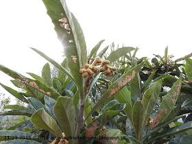ビワの果樹