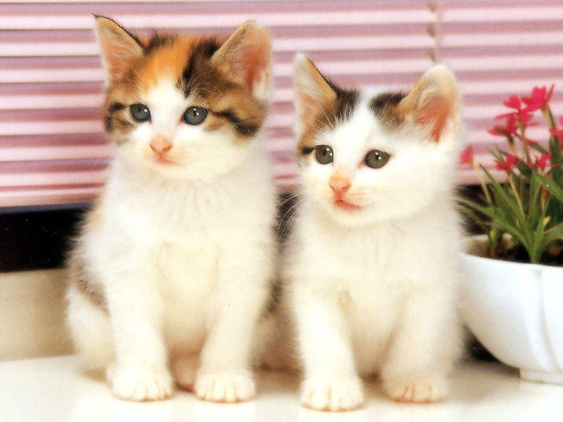 Cute White Cat Wallpaper Funny Animal