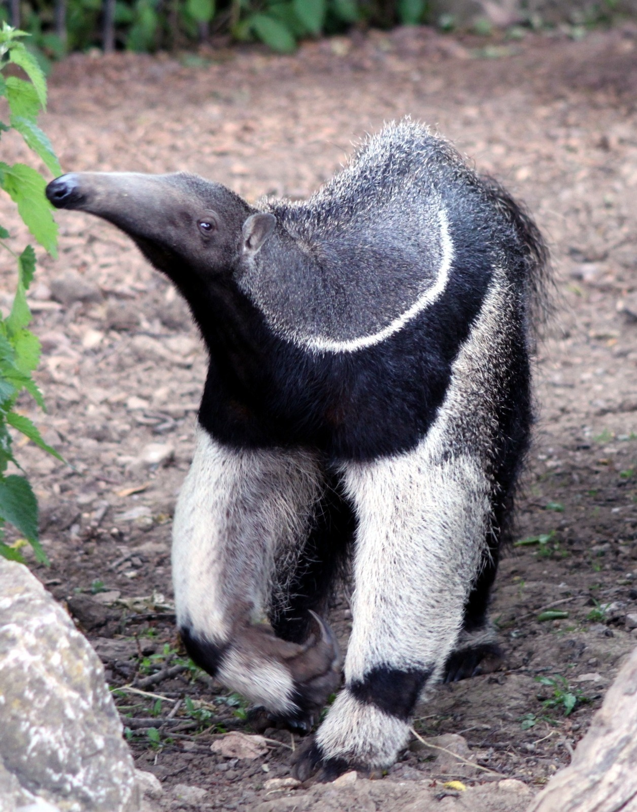 Picture of an anteater.