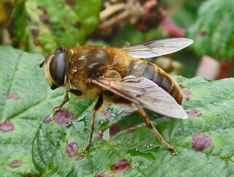 Hoverfly in profile on bramble leaf. (Fine dots of rain on its back.)