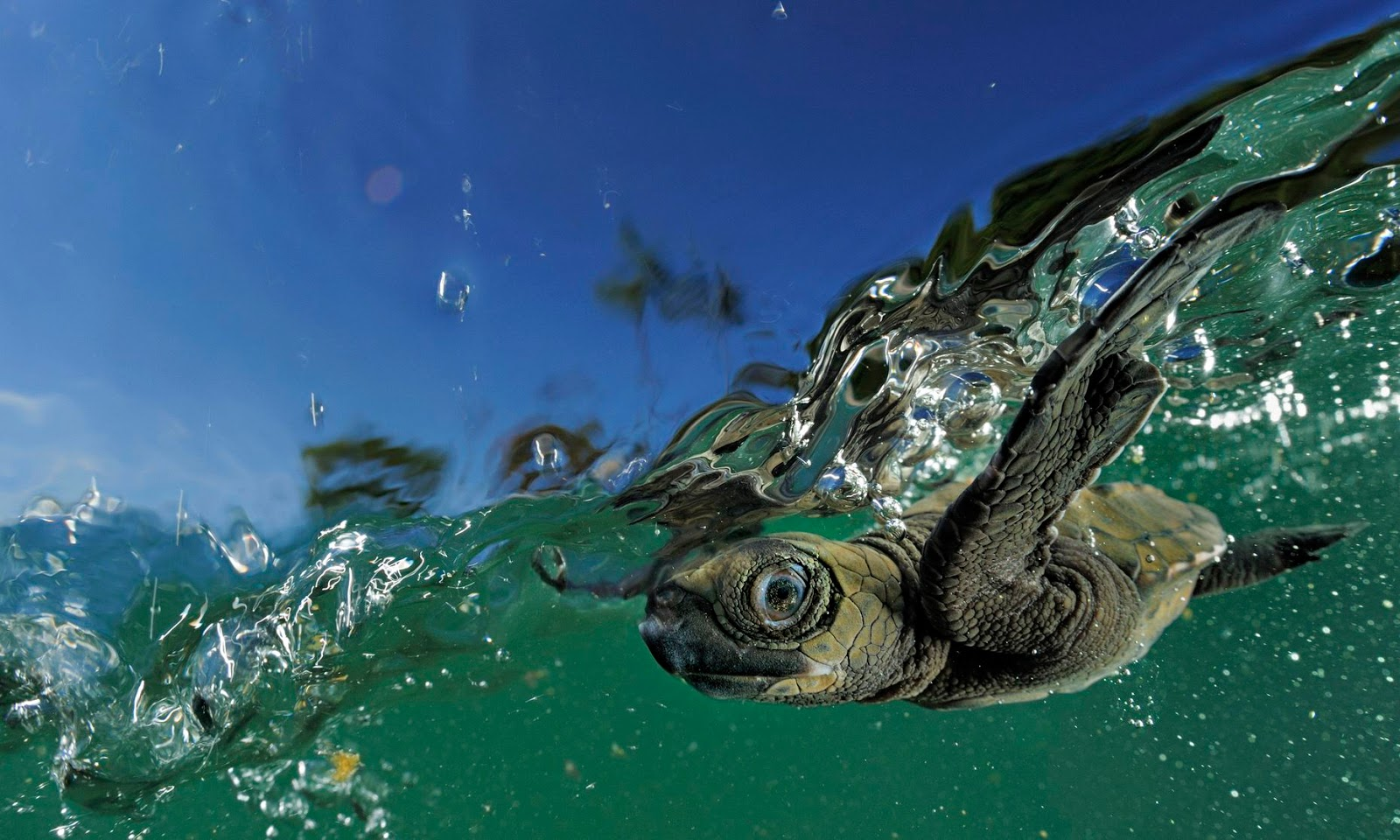 http://www.theguardian.com/technology/2014/may/09/olive-ridley-turtle-swim-start-life-ganjam-beaches-india