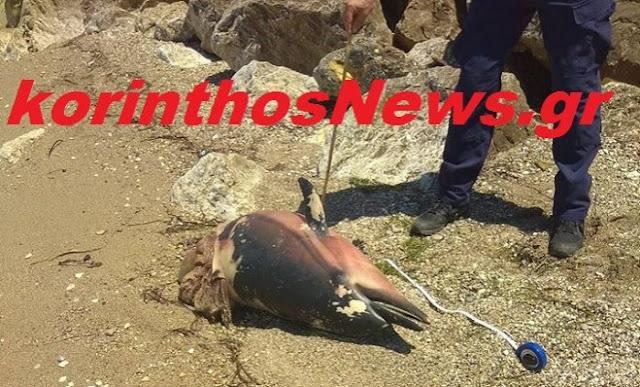 Δυο νεκρά δελφίνια στον Κορινθιακό