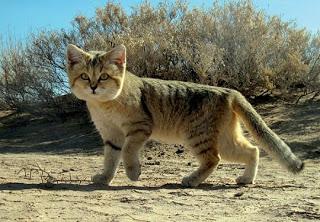 Gato-da-Areia (Felis margarita)