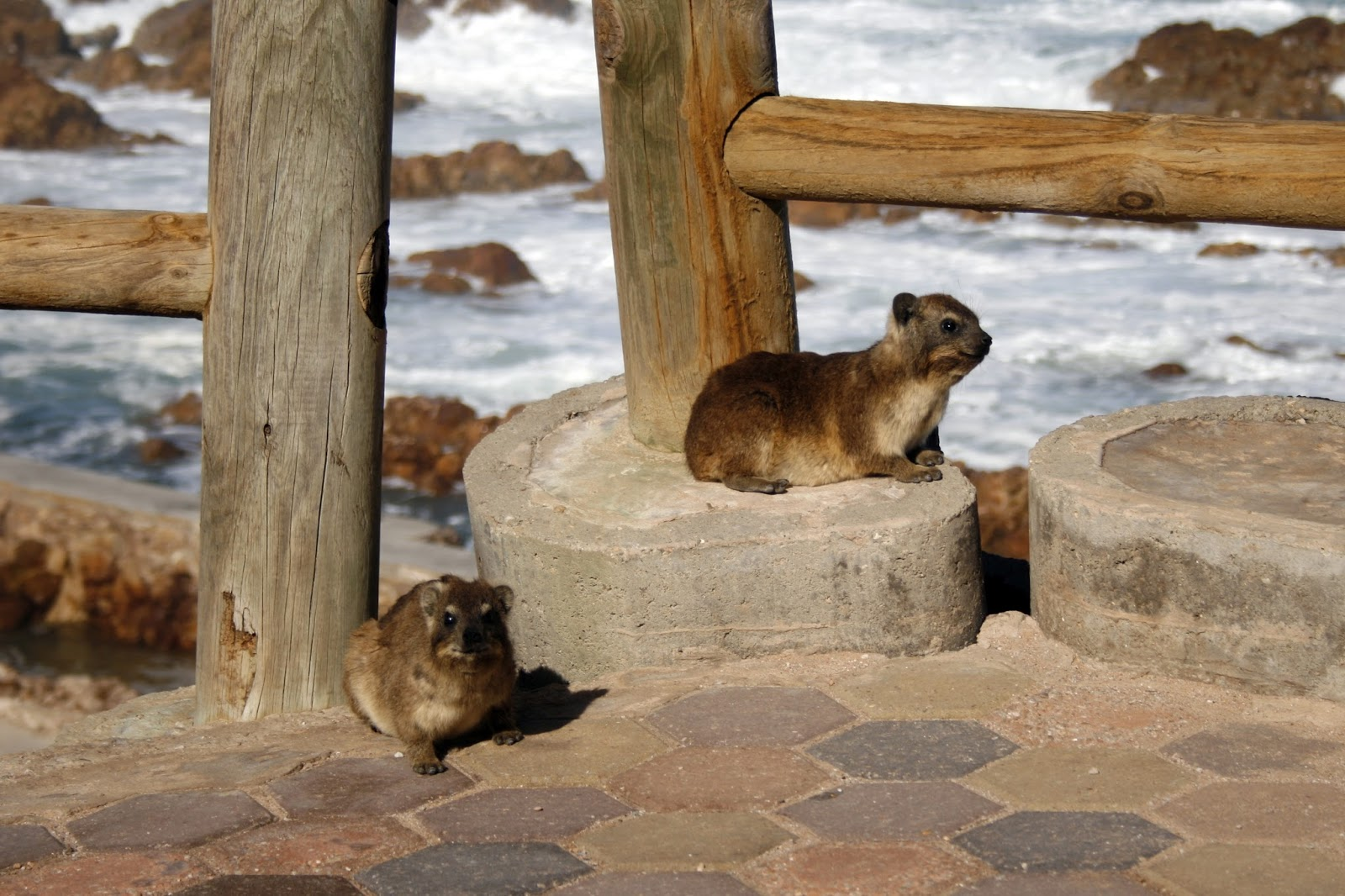 Picture of rock hyrax pets.