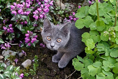 Blue kitten in the garden