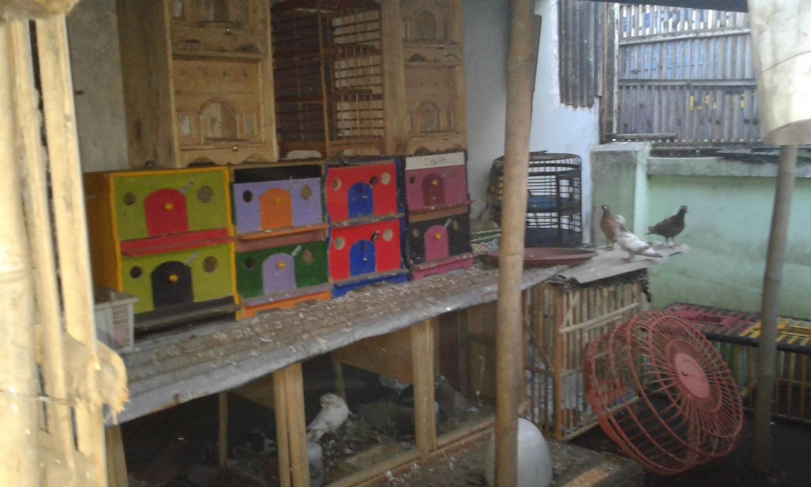 Unduh 107 Foto Gambar Burung Merpati Rumahan HD Terbaru Gratis