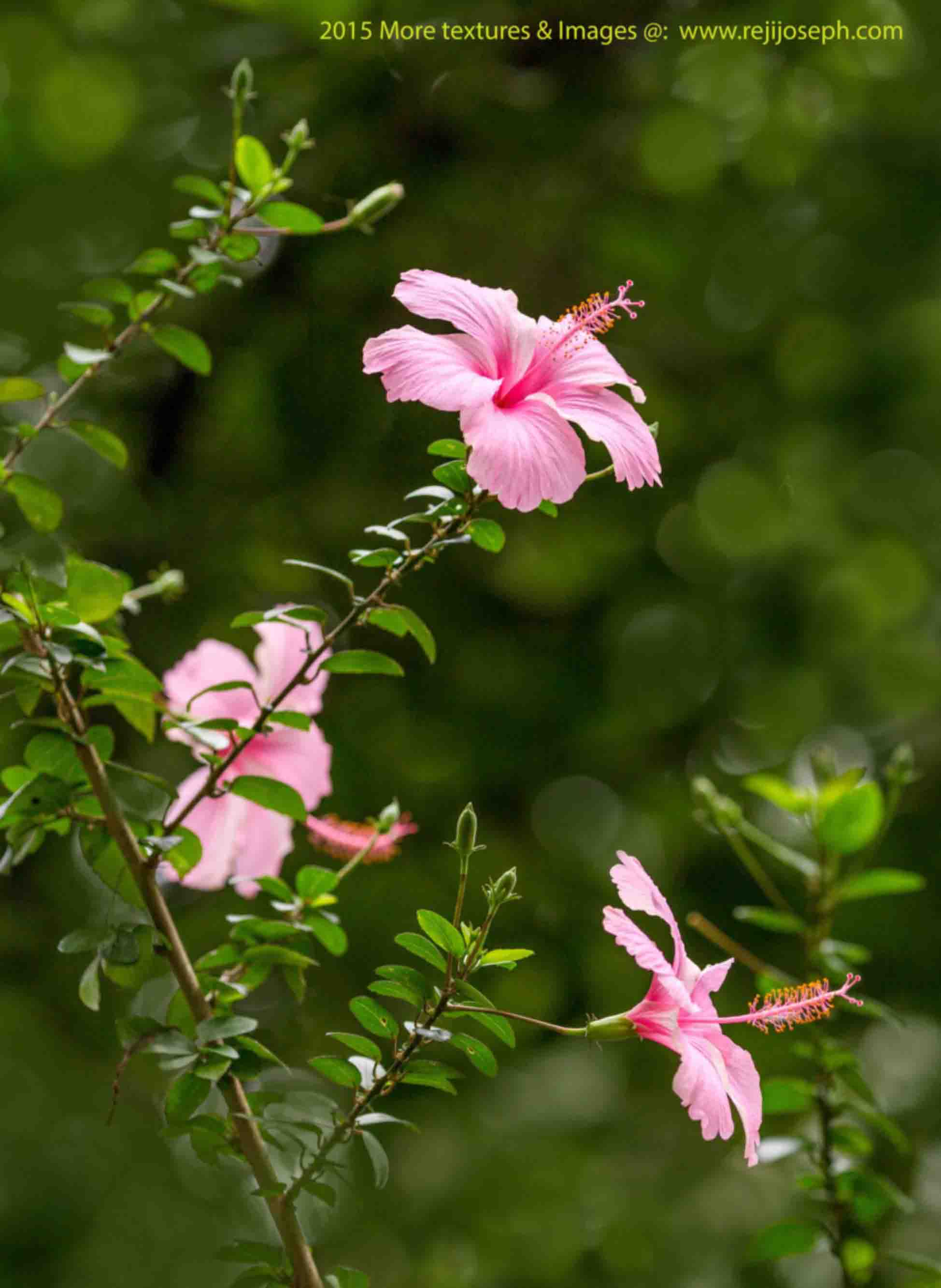 Hibiscus flower pink 00003