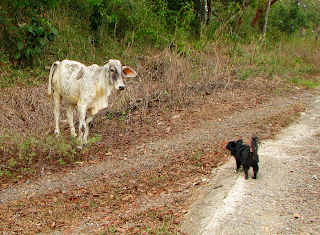 small dog barking at white cow