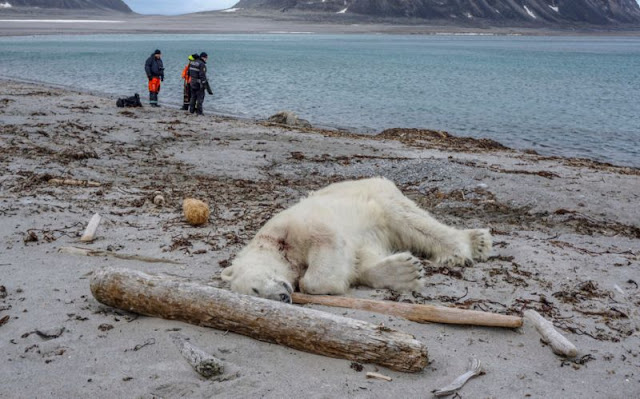Polar bear shot dead after attacking cruise ship tour guide as climate change pushes predators closer to human habitats