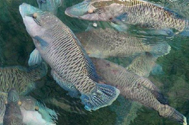 Budidaya Ikan Napoleon di KJA