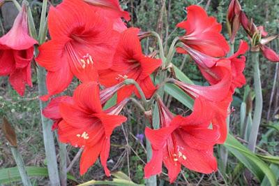 flowers, amaryllis, red, bulb, Florida