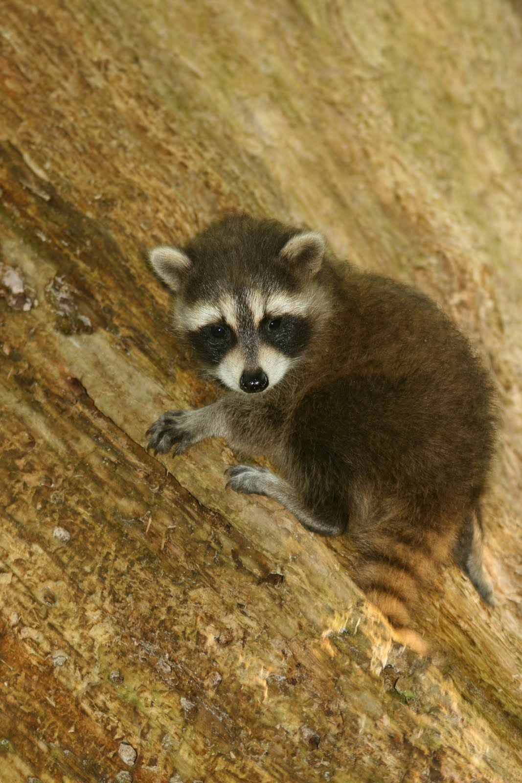 Teetoo Baby Raccoon