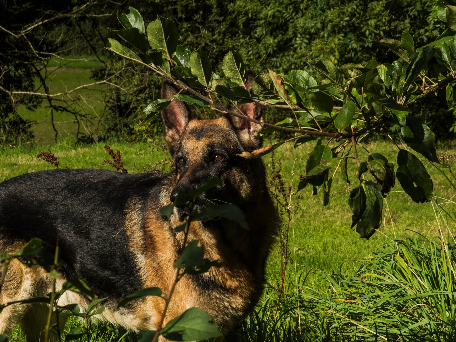 A German Shepherd Steve standing in the grass next to an apple tree in sunlight.