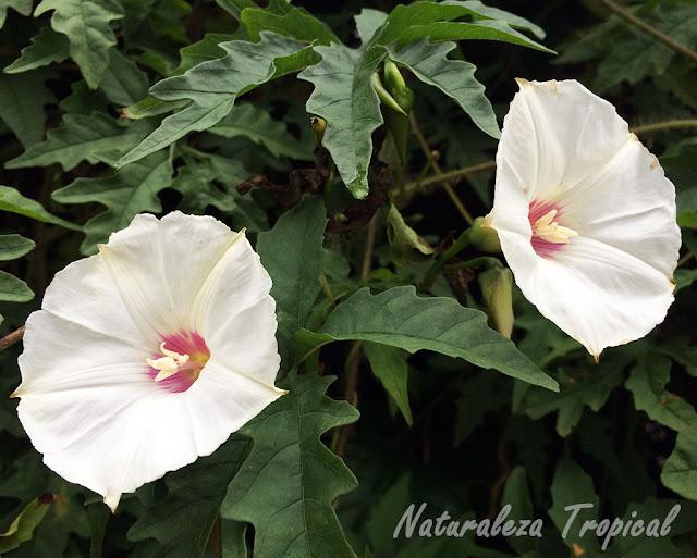 Flores de una especie del género Ipomoea