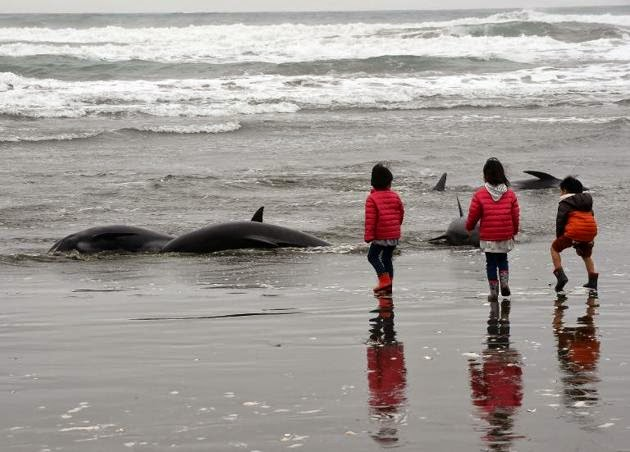 mass stranded whale washed up on Japan Beach by rough incoming tide