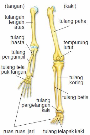 Pengertian, Fungsi, Struktur dan Macam-macam Jenis Sistem Rangka (Tulang) pada Manusia